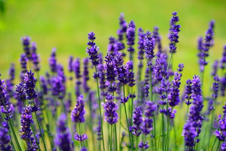 Lavender Holy-field